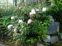 パフィオ庭脇のシャクナゲ