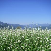 *【たかつえのそば畑】爽やかな高原の風と見渡す限りのそばの花(例年9月上旬見頃)