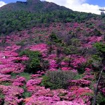 春の風物詩ミヤマキリシマ!山肌が辺り一面ピンクの絨毯に♪
