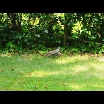 中庭に遊びに来る山鳩