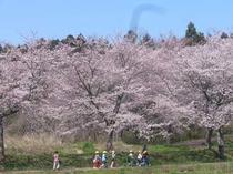 平筒沼ふれあい公園の桜、宿より車で10分