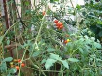 自家製野菜です、もちろん無農薬です。