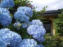紫陽花と玄関
