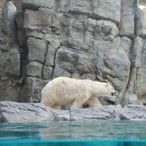*男鹿水族館/陸上最大の肉食獣「ホッキョクグマ」。