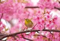 鶯と河津桜