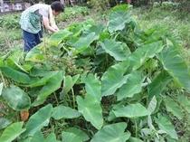 自家菜園の里芋畑