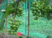 自家菜園の葡萄