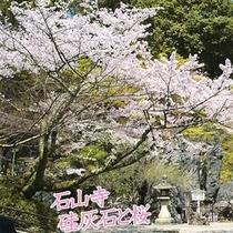 石山寺の桜