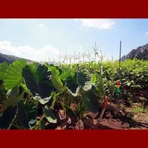 地野菜 ①