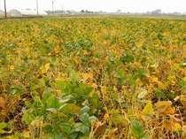 一面の大豆畑