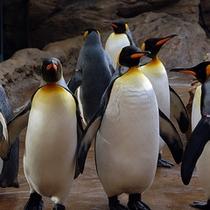 アクアスのオウサマペンギン