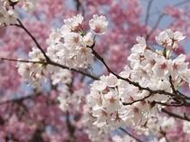 奥多摩湖の春