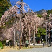 *久遠寺のしだれ桜 3月下旬から4月の中旬が見ごろ。