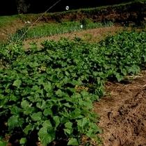 *畑ではたくさんの野菜を作っています。