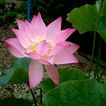 *美しい睡蓮の花