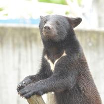 *【熊牧場】マタギの里の象徴、阿仁熊牧ツキノワグマとヒグマの動物園です。