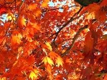 【紅葉】オオカエデの下からの写真