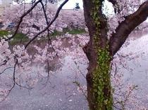 日本三大夜桜で有名な高田公園の桜