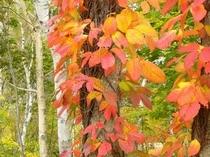 白樺林とツタの紅葉