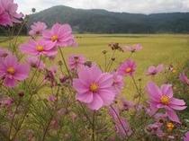 コスモスと黄金色の田んぼ・・・9月の風景です.jpg