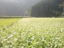 ソバ畑の白い花