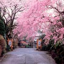 春/正門前では桜が見事に満開!心躍る春の訪れ。