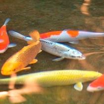 庭園/中庭の中心にある池には、鮮やかな鯉が悠々と泳いでいます。