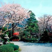 春/待ちに待った桜の季節。玉庭の庭もさくら色に染まります。