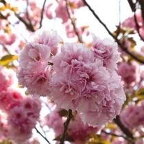 *八重桜(イメージ)