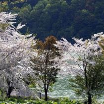 朝里湖の春