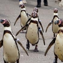 *かわいいペンギン達のお散歩風景♪