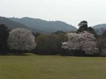 飛火野の桜