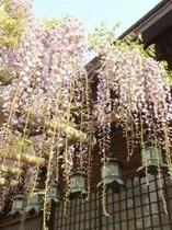 春日大社・砂刷りの藤