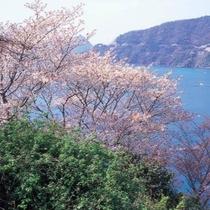 神子も山桜