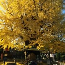 ◆鑁阿寺銀杏の木