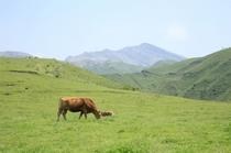 阿蘇と赤牛