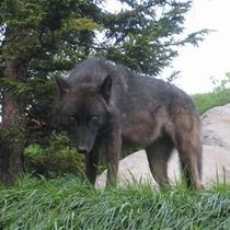 旭山動物園のオオカミの森