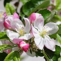 ■りんごの花■