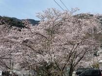 鈍川温泉の桜