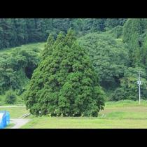 トトロのように見える小杉の大杉