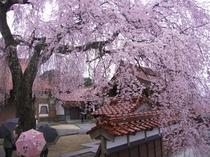 倉吉極楽寺の枝垂れ桜