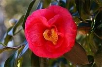 椿油の元となる椿の花