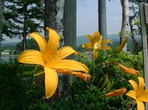 高原に咲く ニッコーキスゲ(7月)