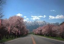 5月山部の桜
