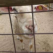 石筵ふれあい牧場のめん羊さん☆