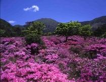春◆雲仙つつじ