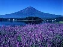 ラベンダーと富士(6〜8月)