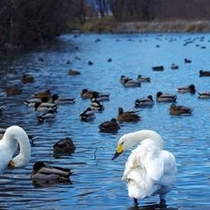 白鳥の湖 犀川白鳥湖