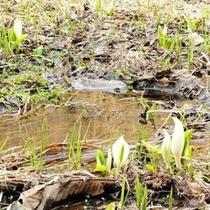 居谷里湿原 水芭蕉