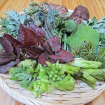 【食材一例】花背の自然に育まれた山菜(春)